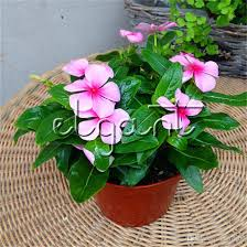 vinca flowers pink madagascar periwinkle flower 100 seeds catharanthus