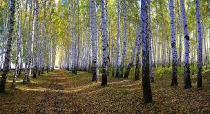 white birch tree forest shadow wallpapers and images desktop