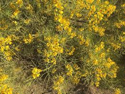 florida keys native plants senna phyllodinea native to australia tucson com