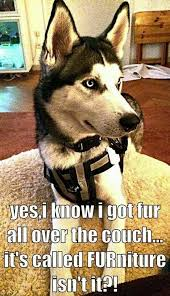 Pun Husky Meme - fur niture that s what you get with huskies funny