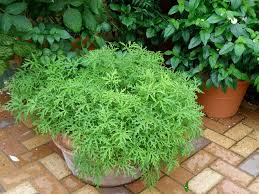growing mosquito plant citronella in a pot with instructions