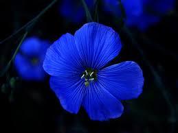blue flower blue flower natureloving flickr
