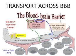 Blood Brain Barrier Anatomy Blood Brain Barrier