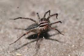 file grass spider agelenopsis naevia jpg wikimedia commons