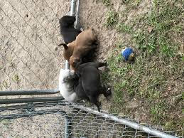 american pitbull terrier puppies for adoption rehoming american pitbull terrier puppies in hoobly classifieds