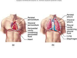 Human Anatomy Terminology Lecture 1 Anatomical Organization