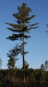 white pine trees minnesota s eastern white pine forest type myminnesotawoods