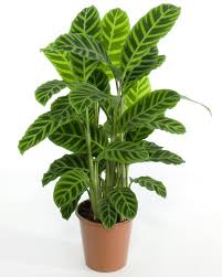 homelife top 15 indoor plants calathea u2013 korbmarante plants plant care and prayer plant