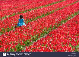 Tulip Field Netherlands Lisse Child Walking In Tulip Field Stock Photo
