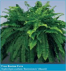 ferns clean air u0026 nasa casa flora