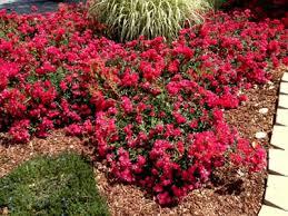 drift roses buy drift 1 gallon roses groundcover buy plants