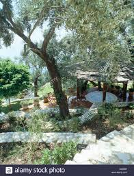 olive tree in hillside garden with view of gazebo with thatched