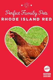 28 best rhode island red chickens images on pinterest rhode