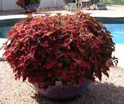 How To Grow Coleus Plants by The Potted Desert Garden Plants From U0027back Home U0027 Can Turn Into