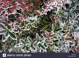 frozen plants and leaves on a winters day in an english garden