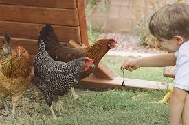 What To Feed Backyard Chickens by A Practical Guide To Keeping Backyard Chickens