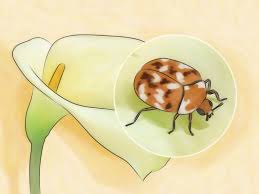 How To Get Rid Of Bugs In Kitchen Cabinets How To Get Rid Of Carpet Beetles 12 Steps With Pictures