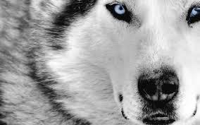 imagenes de fondo de pantalla lobos lobos fondos de pantalla de lobos wallpapers hd