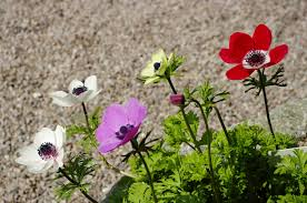 anemones flowers anemone flowers tips for anemone plant care