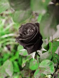real black roses real black roses wallpapers
