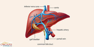 A Picture Of The Human Anatomy Human Liver Anatomy Function Location Parts U0026 Diseases