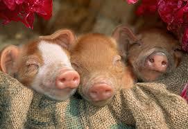 piglet animal stock photos kimballstock