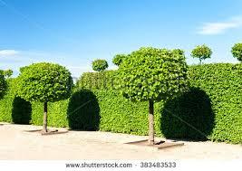 shaped topiary green trees hedge stock photo 383483533