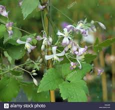 white flowers clematis stock photos u0026 white flowers clematis stock