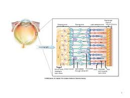 Eye Anatomy And Physiology Eye Anatomy U0026 Physiology Wikivet English