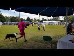 australian shepherd qld australian shepherd dog grooming video funnydog tv