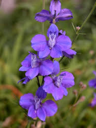 delphinium flower growing larkspur flowers information on when to plant larkspurs
