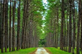 pitch pine trees for sale lowest prices save 80 buy