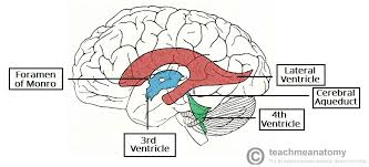 Gross Anatomy Of The Brain And Cranial Nerves Worksheet The Ventricles Of The Brain Lateral Third Fourth