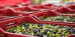 cassette per raccolta olive acquista 20 cassette agricole impilabili aperte per olive