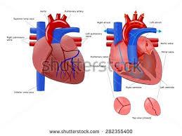 Diagram Heart Anatomy Diastole Systole Filling Pumping Human Heart Stock Illustration