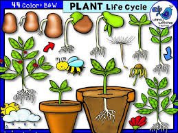 Life Cycle Of A Flowering Plant - the 25 best plant life cycles ideas on pinterest teaching