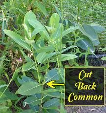 native plant seeds for sale asclepias syriaca common milkweed for monarch caterpillars