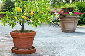growing container citrus fragrance fruit and