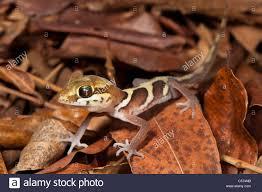 Floor Dry by Big Eyed Headed Gecko Paroedura Pictus On Forest Floor Dry