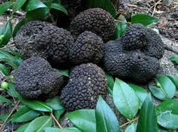 where can you buy truffles 10 g seeds spores of truffle black garden mushrooms kit fungus