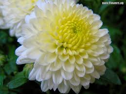 pictures of white u0026 yellow mum flowers flowers pinterest