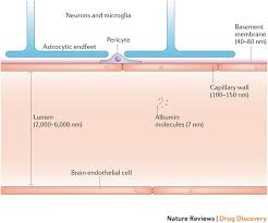 Blood Brain Barrier Anatomy From Blood Brain Barrier To Blood Brain Interface New