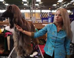 afghan hound look alike breeds crufts 2012 owners and their look a like dogs in pictures daily