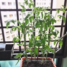 piggy land singapore lifestyle blog homegrown cherry tomato