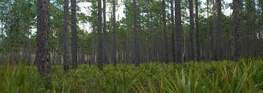 Florida Forest images Florida paper and pulp association jpg