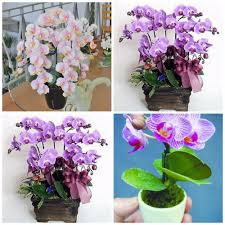Indoor Flowers 50 Pcs Hydroponic Orchid Seeds Indoor Flowers Bonsai Four Seasons