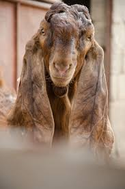 damascus goat long ears goat farm animals pinterest