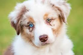 australian shepherd eye diseases heterochromia two different colored eyes allaboutvision com