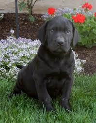 bluetick coonhound lab mix puppies for sale labrador retriever mix puppies for sale lancaster puppies
