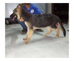 belgian shepherd for sale in islamabad german shepherd male dog 4 month age for sale in lahore localads